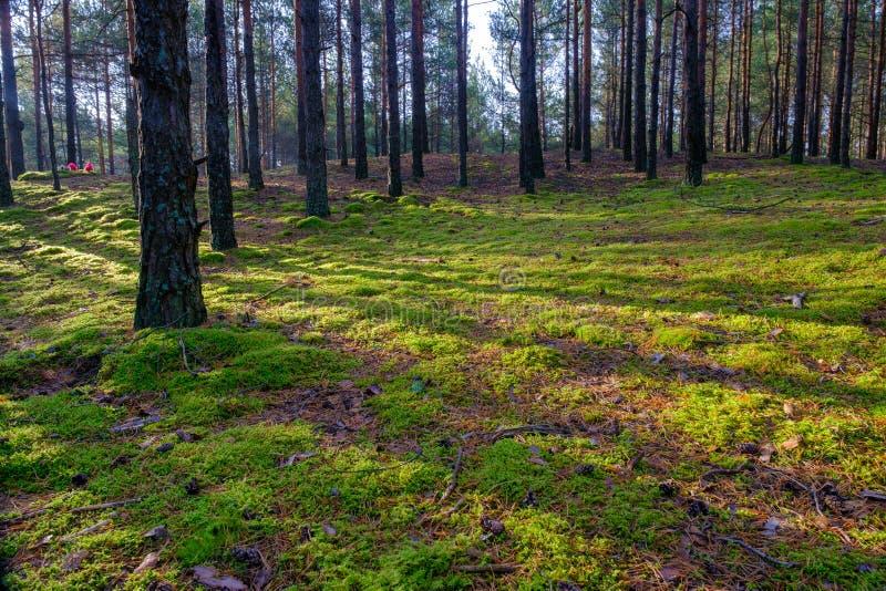 Kiefernwald am frühen Morgen Lange Schatten im Morgengrauen im Nadelwald lizenzfreie stockfotografie