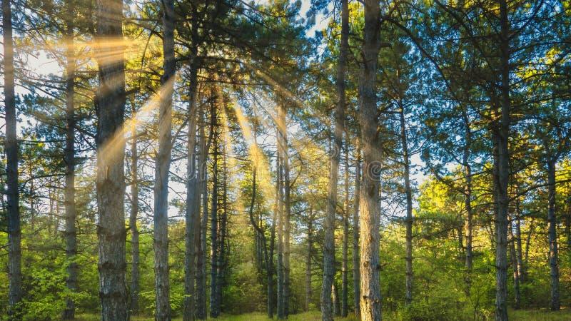 Kiefernwald gegen einen Hintergrund des hellen Sonnenscheins lizenzfreie stockfotografie
