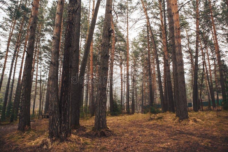 Kiefernwald im Vorfr?hling lizenzfreie stockfotos