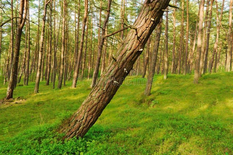 Kiefernwald mit einem lehnenden Baum auf dem Vordergrund lizenzfreie stockfotos
