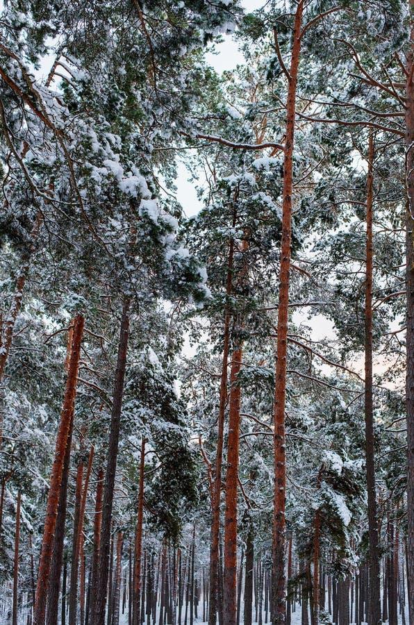 Kiefernwald nach Schneefälle lizenzfreie stockfotografie