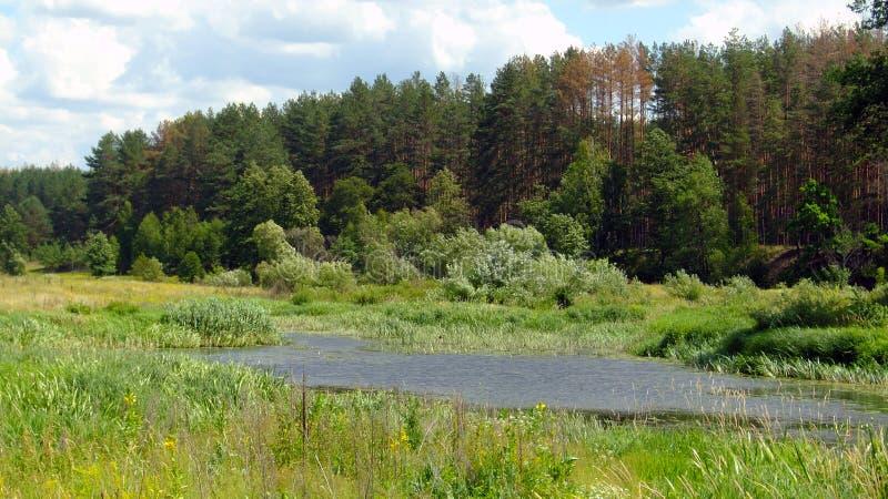 Kiefernwald nahe Fluss stockfoto