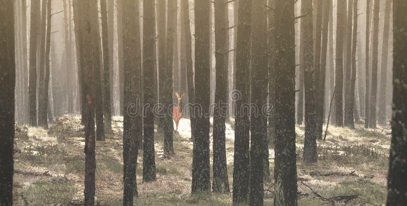Kiefernwald und ein Rotwild, das unter den Bäumen hifing ist lizenzfreie stockfotografie