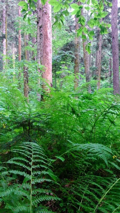 Kiefernwald und -farne lizenzfreie stockfotos