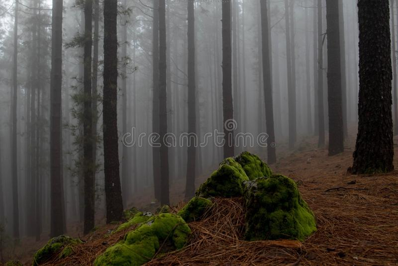 Kiefernwald und -nebel stockbilder