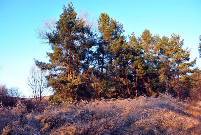 Kiefernwald und Weiden, faules trockenes gelbes Gras, Hintergrund des blauen Himmels, sonniger Herbsttag lizenzfreie stockbilder