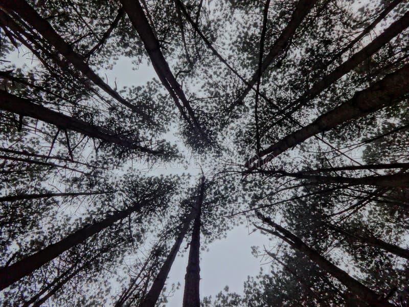 Kiefernwald von einer anderen Perspektive stockfoto