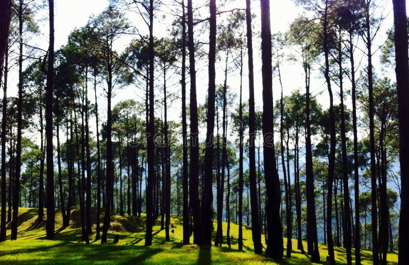 Kiefernwaldgrünes Gras lizenzfreie stockfotografie