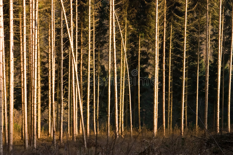 Kieferwald stockfotos