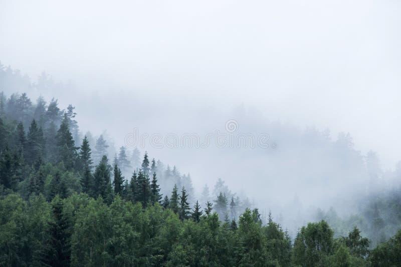 Kieferwald auf Berg im Nebel lizenzfreies stockfoto