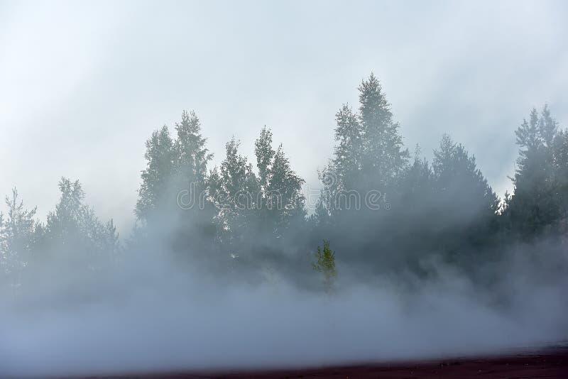 Kieferwald im dichten Nebel lizenzfreie stockbilder