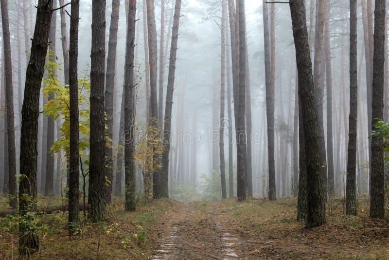 Kieferwald im Herbst stockfotos