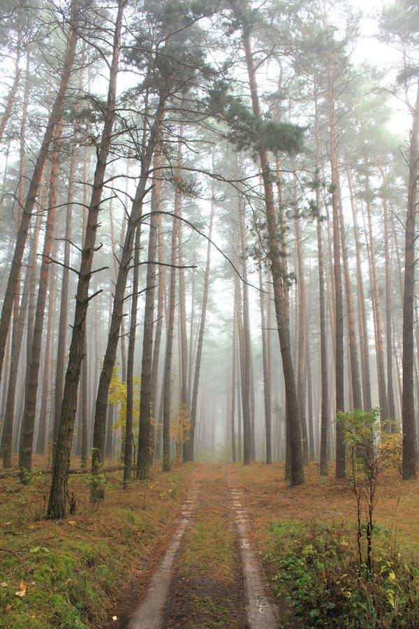Kieferwald im Herbst lizenzfreie stockbilder