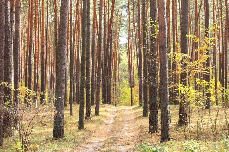 Kieferwald im Herbst stockbild