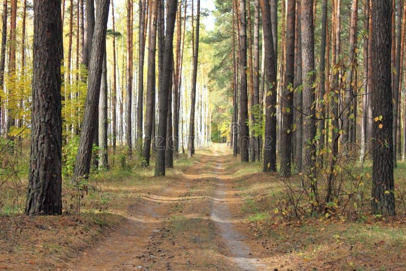Kieferwald im Herbst stockbilder