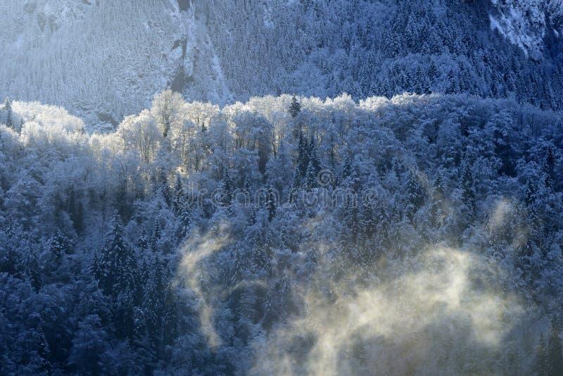 Kieferwald im Winter stockfotos