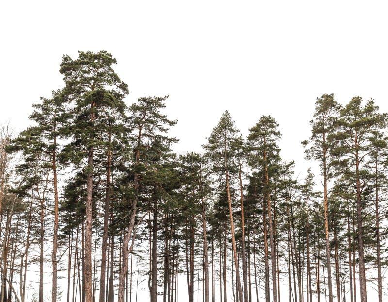 Kieferwald lokalisiert auf weißem Hintergrund lizenzfreie stockbilder