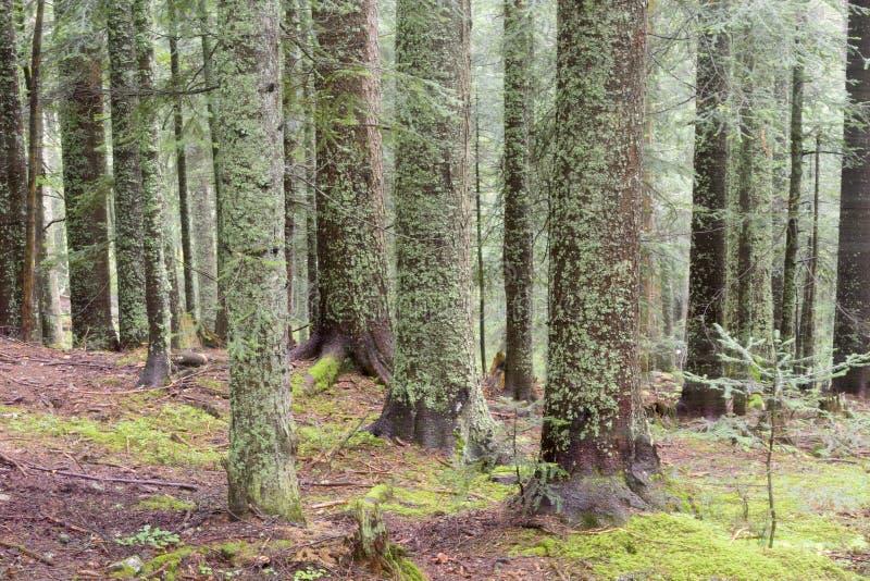 Kieferwald mit Nebel lizenzfreies stockbild