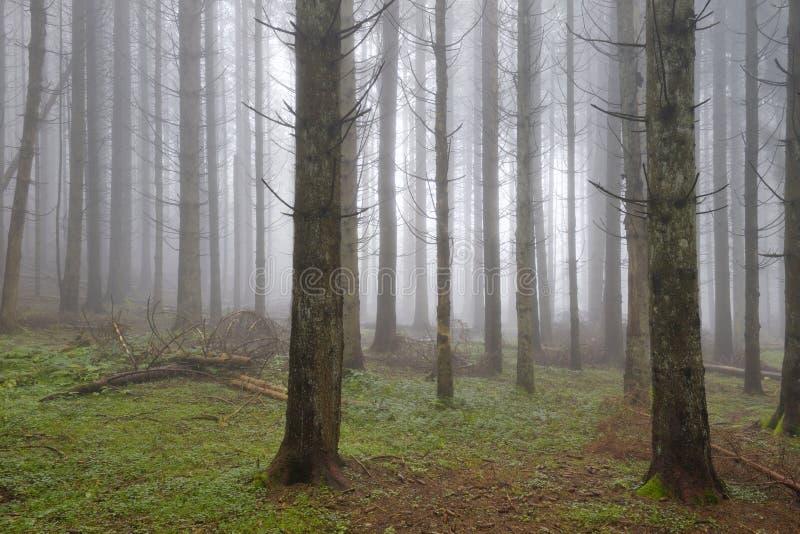 Kieferwald mit Nebel lizenzfreie stockfotos