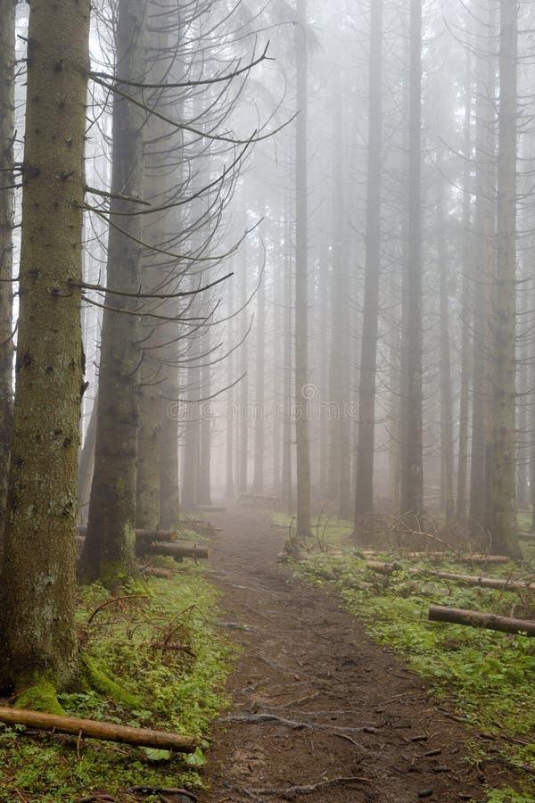 Kieferwald mit Nebel lizenzfreies stockfoto
