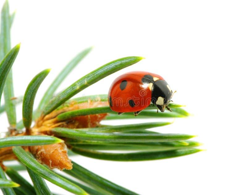 Download Kieferzweige stockbild. Bild von käfer, traditionell - 12201377