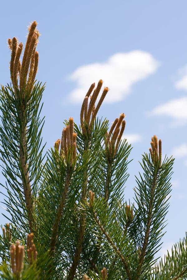 Kieferzweige, die zum Himmel erreichen. lizenzfreies stockfoto