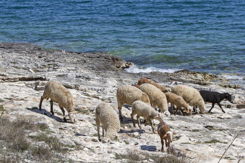 Kierdel cakle w Istria fotografia royalty free