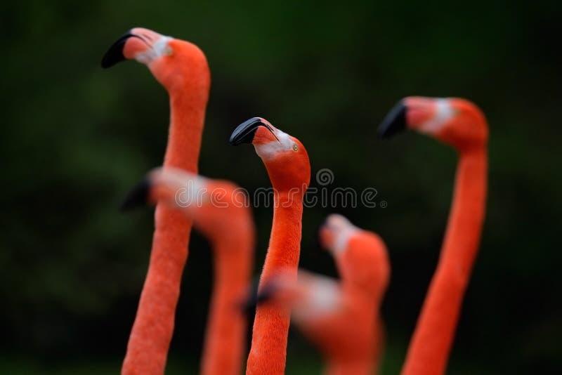 Kierdel Chilijski flaming, Phoenicopterus chilensis, ładny różowy duży ptak z długą szyją, tanczy w wodzie, zwierzę w naturze zdjęcia royalty free