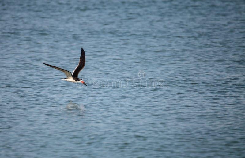 Kierdel czarny cedzakowy terns Rynchops Niger obraz stock