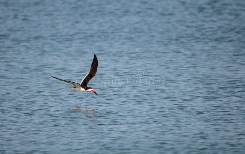 Kierdel czarny cedzakowy terns Rynchops Niger fotografia stock