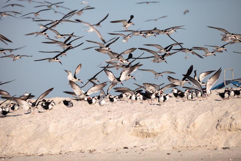 Kierdel czarny cedzakowy terns Rynchops Niger na plaży przy milczkiem obrazy royalty free