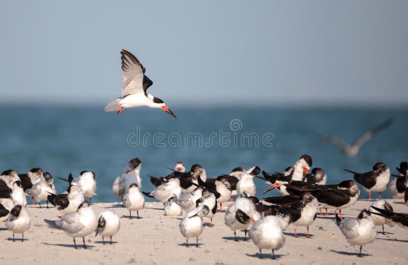 Kierdel czarny cedzakowy terns Rynchops Niger na plaży przy milczkiem zdjęcia stock