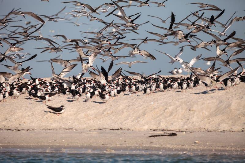 Kierdel czarny cedzakowy terns Rynchops Niger na plaży przy milczkiem zdjęcia royalty free