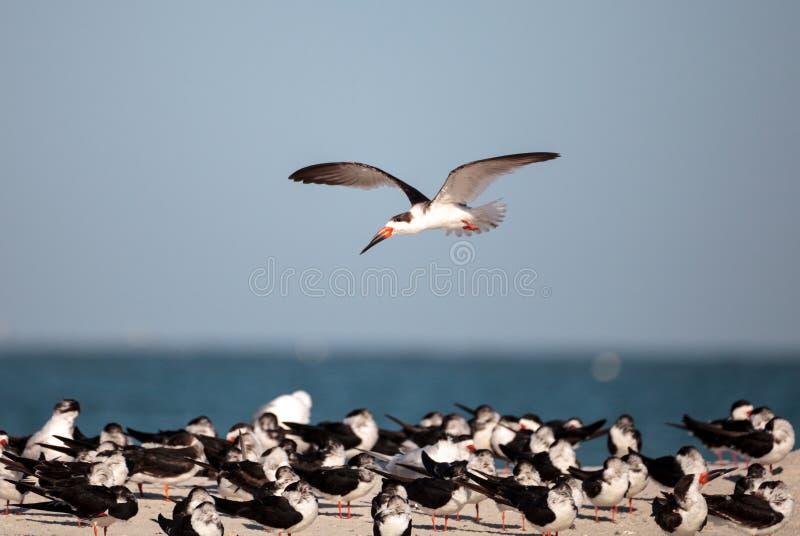 Kierdel czarny cedzakowy terns Rynchops Niger na plaży przy milczkiem fotografia stock