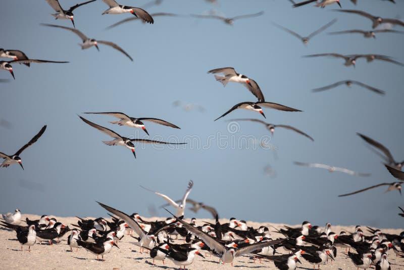 Kierdel czarny cedzakowy terns Rynchops Niger na plaży przy milczkiem zdjęcie stock