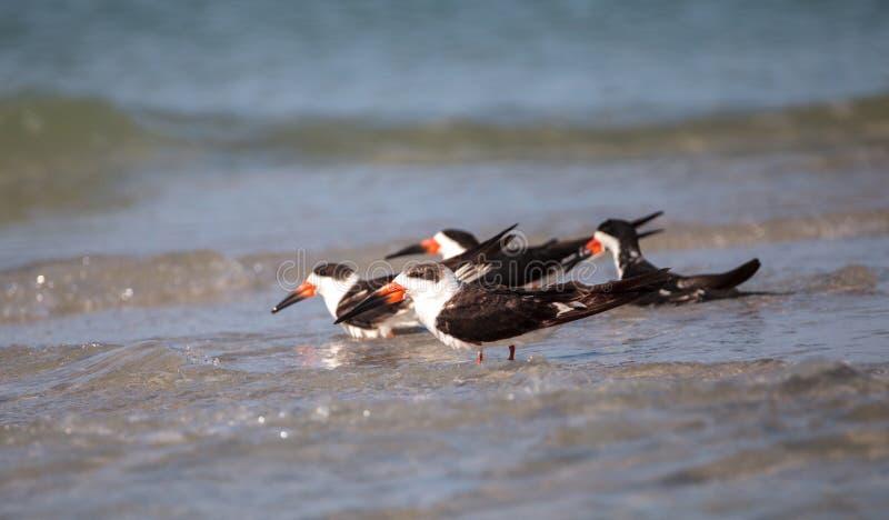 Kierdel czarny cedzakowy terns Rynchops Niger na plaży przy milczkiem zdjęcie royalty free