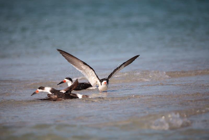 Kierdel czarny cedzakowy terns Rynchops Niger na plaży przy milczkiem obraz stock