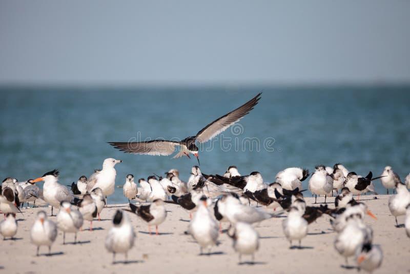Kierdel czarny cedzakowy terns Rynchops Niger na plaży przy milczkiem fotografia royalty free