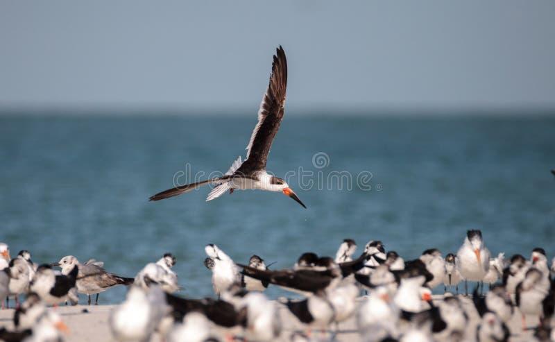 Kierdel czarny cedzakowy terns Rynchops Niger na plaży przy milczkiem obraz royalty free