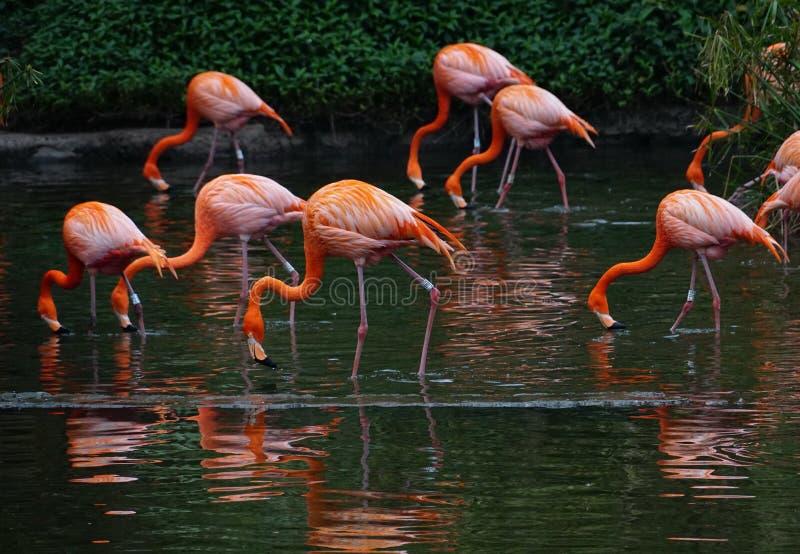 Kierdel czerwoni flamingi na stawie z zielonym i ciemnym tłem, obraz stock