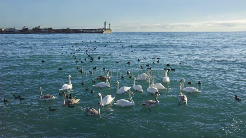 Download Kierdel Dzicy Swanes Bierze Schronienie W Port Morski Obraz Stock - Obraz złożonej z tło, seaport: 28954697