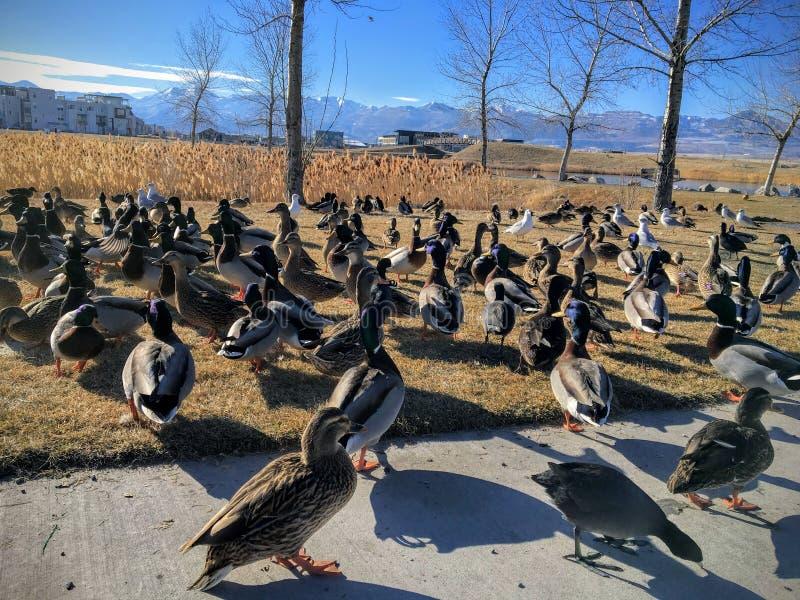 Kierdel dzikie kaczki Brzask jeziorem w Południowym Jordanowskim Utah Ptaki migrujący na wakacje karmi miejscowymi obraz royalty free