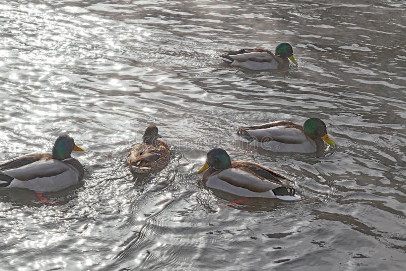 Kierdel dzikie kaczki pływa w rzece fotografia royalty free