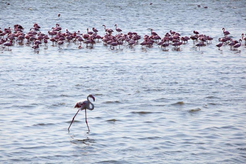 Kierdel flamingi zdjęcie stock