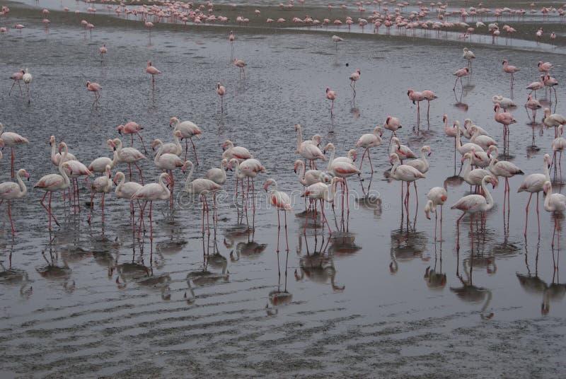 Kierdel flamingi fotografia stock