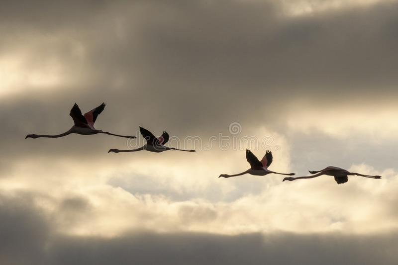 Kierdel flamingi w locie obraz stock