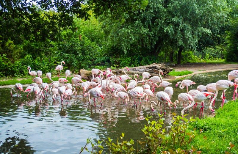 Kierdel flamingi w Praga zoo, republika czech zdjęcia stock