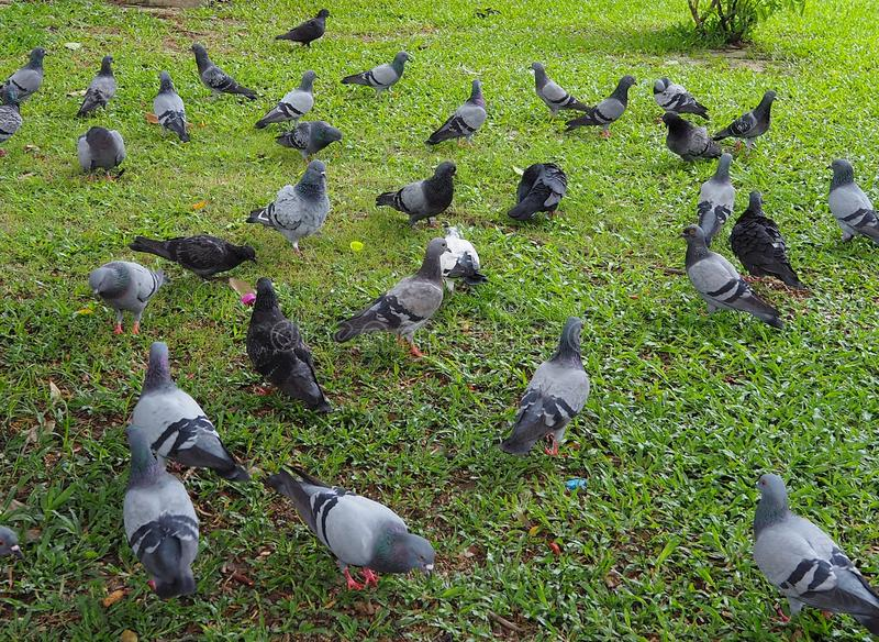 Kierdel gołębi ptaki na trawy polu w Bangkok zdjęcie stock