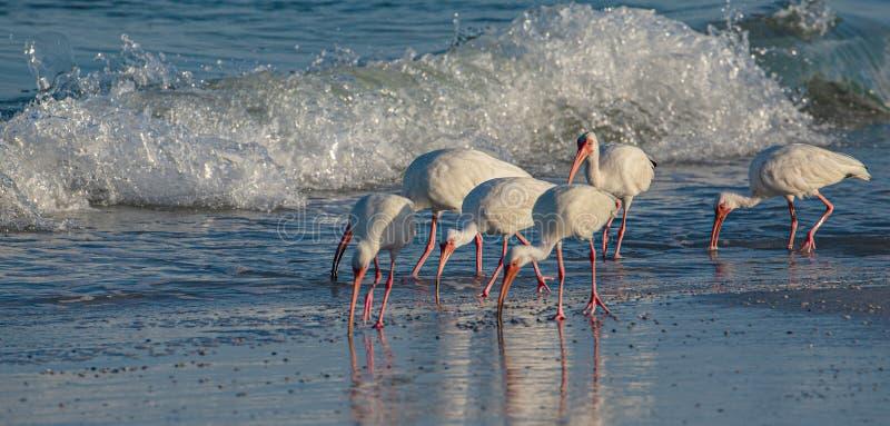 Kierdel ibis jazdy fale na Indiańskiej skały plaży, Floryda obrazy royalty free