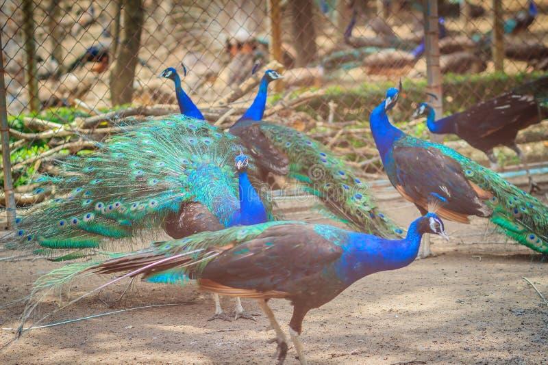 Kierdel Indiański peafowl, Błękitnego peafowl paw (Pavo cristatus) obraz stock